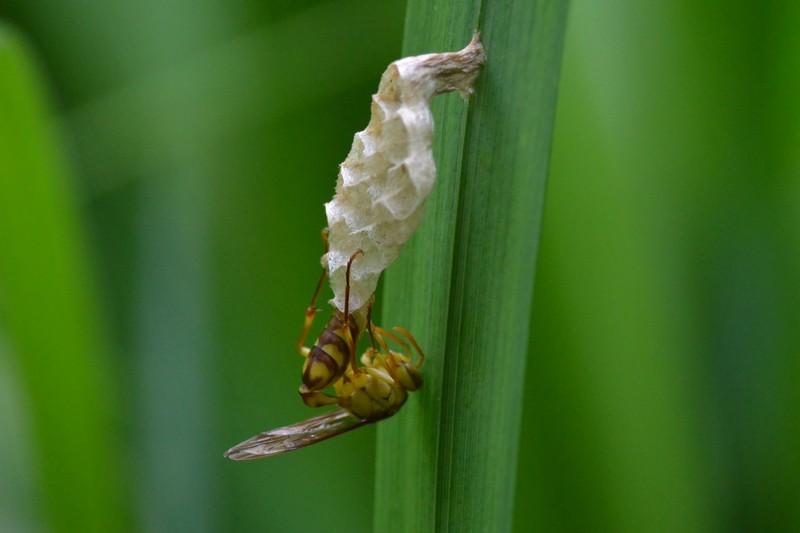 大町自然観察園の蜂