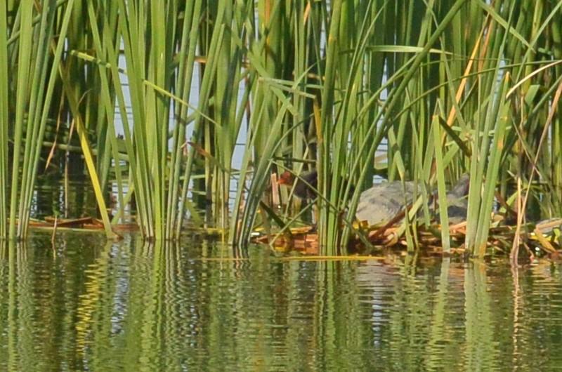 手賀沼のオオバン