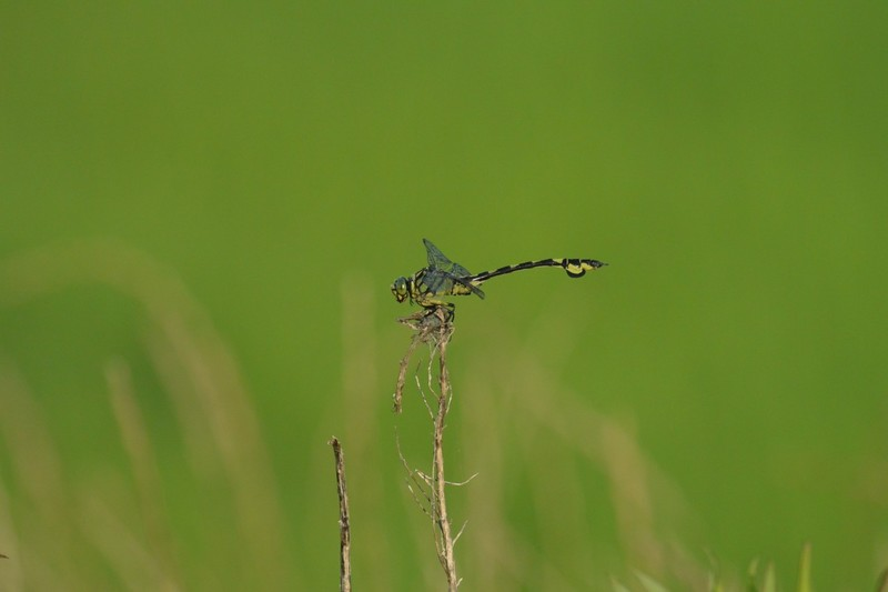 手賀沼のウチワヤンマ