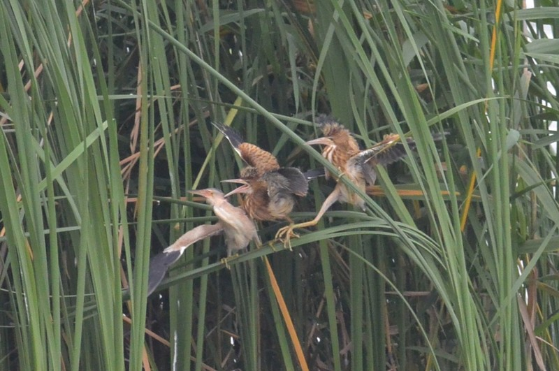手賀沼のヨシゴイ