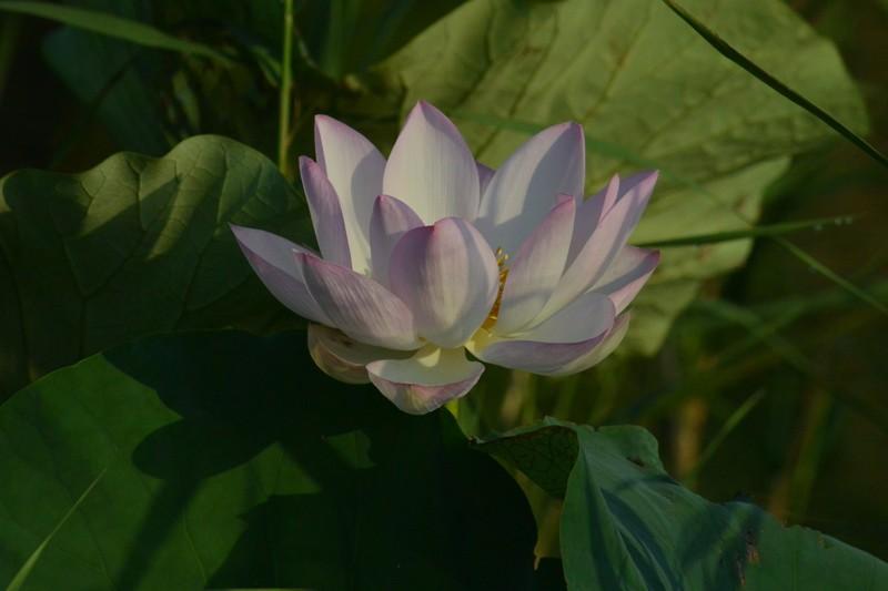 手賀沼の蓮の花
