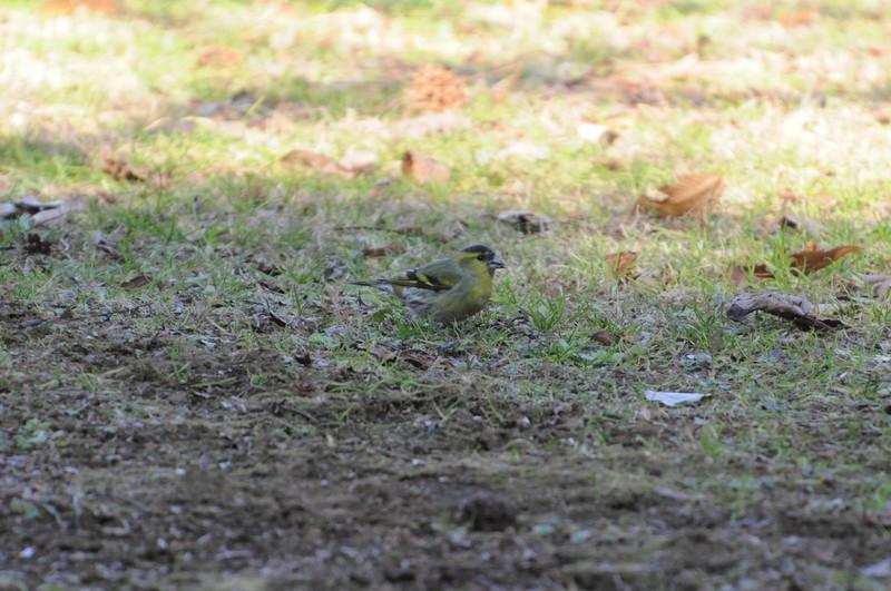 柏の葉公園のマヒワ