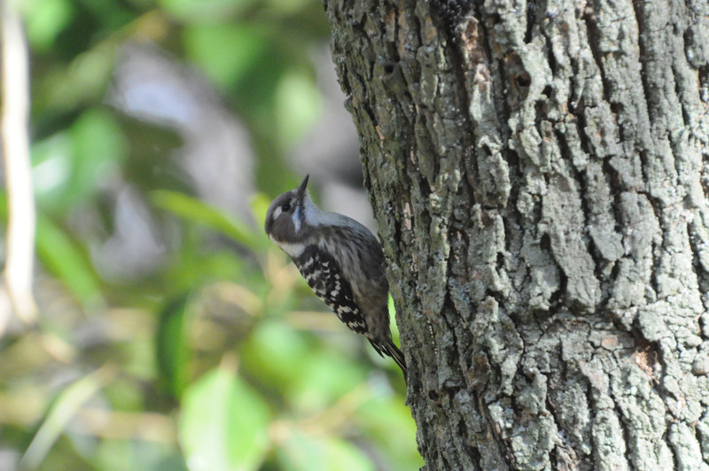 柏の葉公園のコゲラ