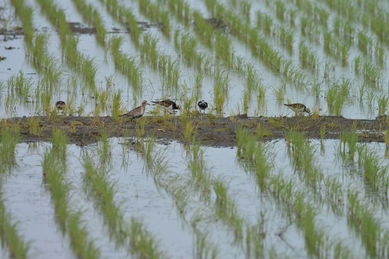 手賀沼のムナグロとキョウジョシギ